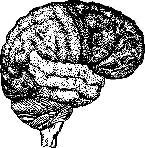 Наружная поверхность головного мозга (схема).  1 - лобная доля; 2 - теменная доля, 3 - височная доля, 4...